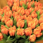 Tulpen - Prinzess Irene gefüllt